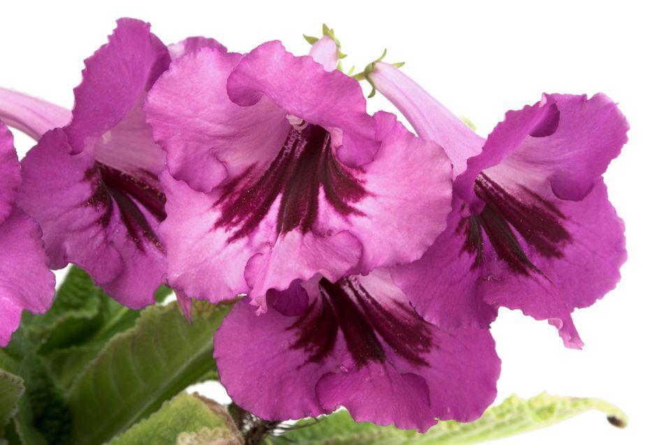 Streptocarpus Flowers