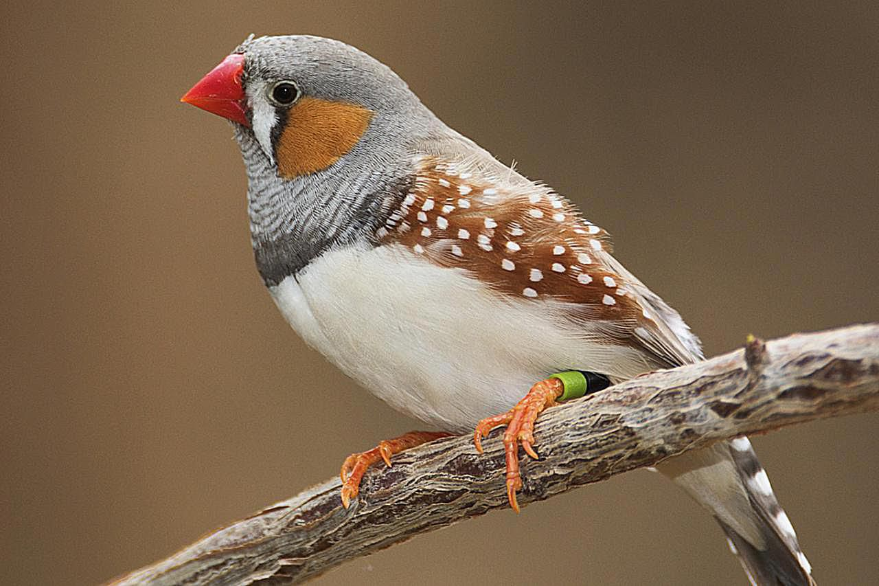 Zebra finch breeding basics biocorpaavc