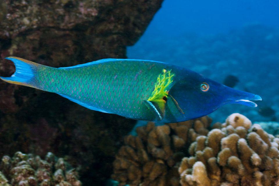 Bird Wrasse Fish