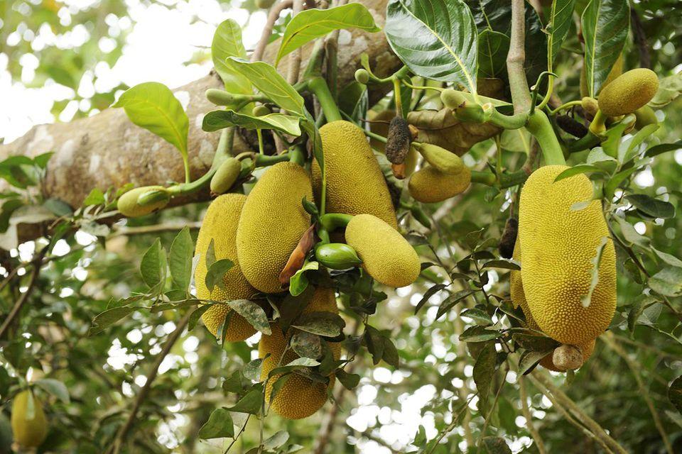 Tanzania, Zanzibar island, jackfruits