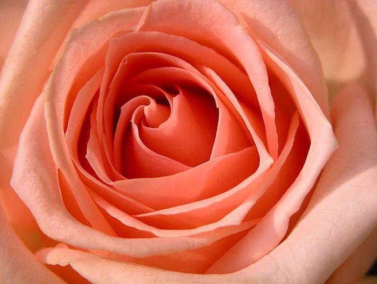 13 free online rose wallpapers - Peach rose wallpaper ...