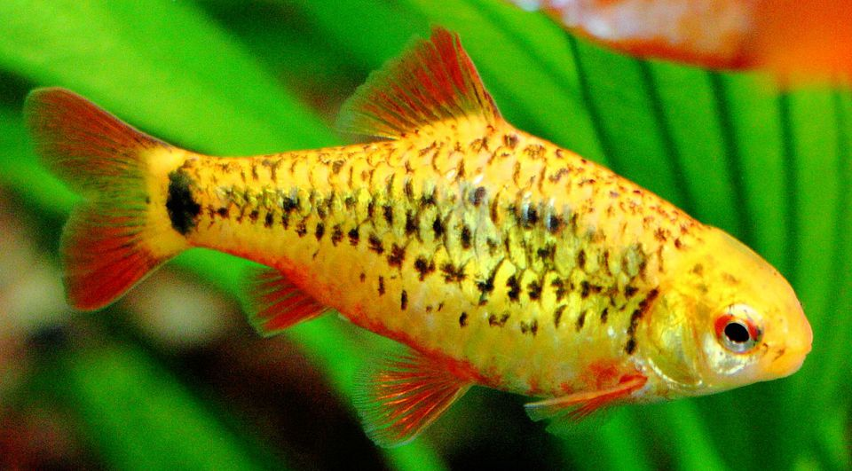 Barb species profiles and care information for Large peaceful community fish