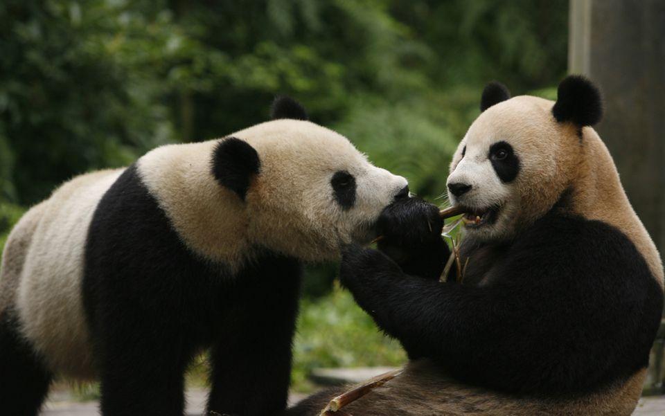 taipei zoo giant pandas