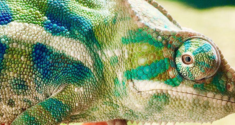 Detail Shot Of Chameleon