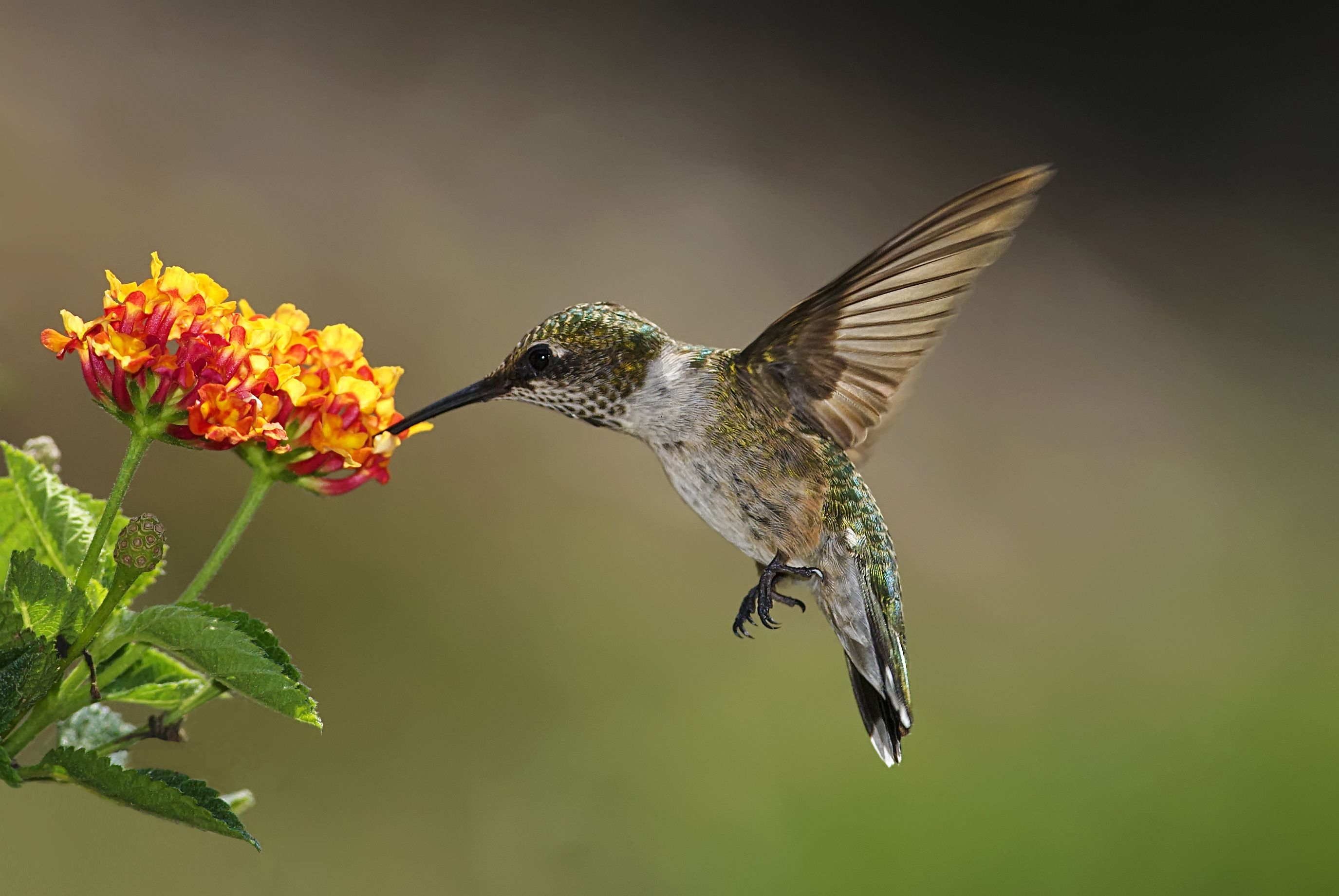 hummingbirds and flowers pictures