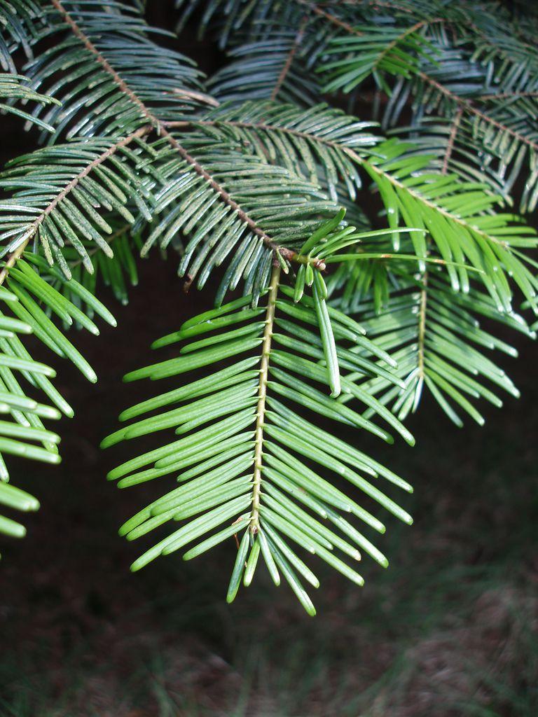 12 species of fir trees members of the abies genus