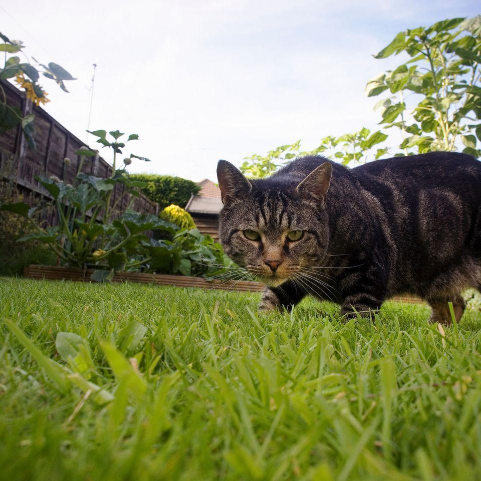 Cat prowling in yard