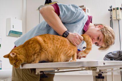Veterinarian Examining Cat