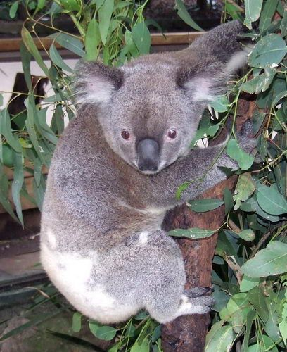 Koala in Tree at the Koala Park Sanctuary near Sydney, Australia