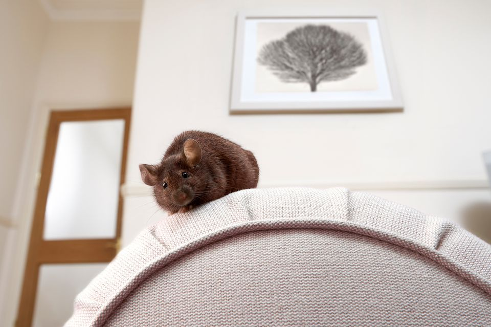 Mouse sitting on couch