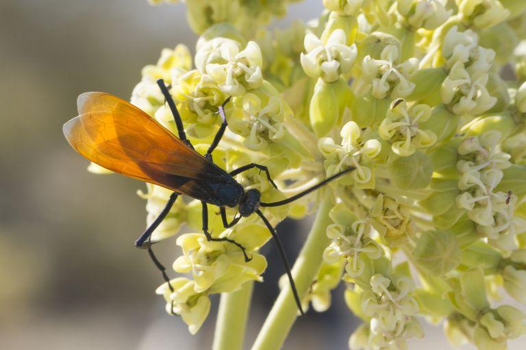 Tarantula hawk wasp on flowers.