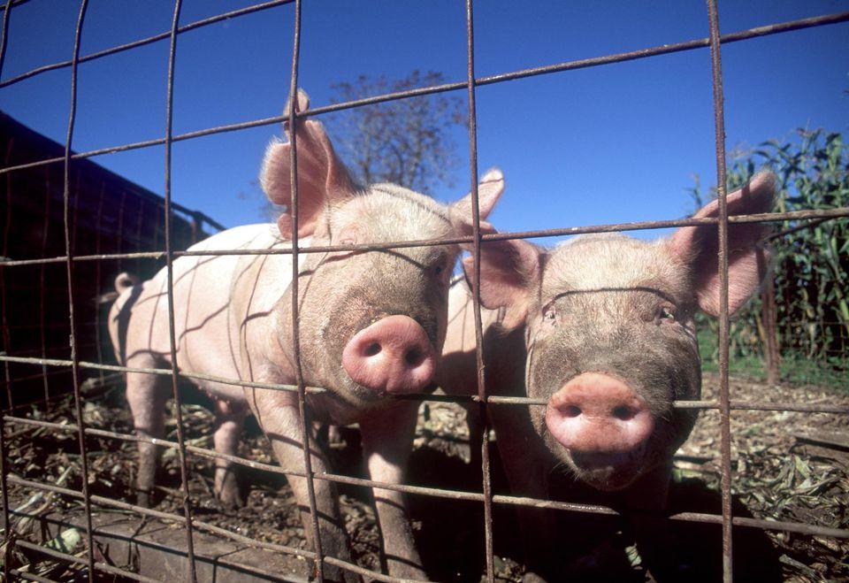 Farm pigs in pen