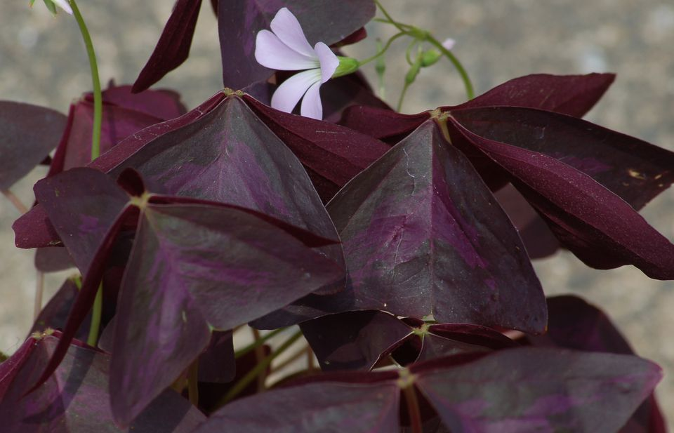 Black Oxalis can have purple in it, as my picture shows. This is Charmed Velvet shamrock.