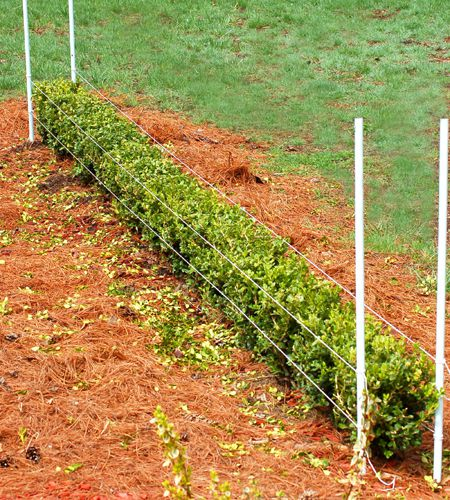 How To Trim Hedges Evenly With Shears: Set Up Guides