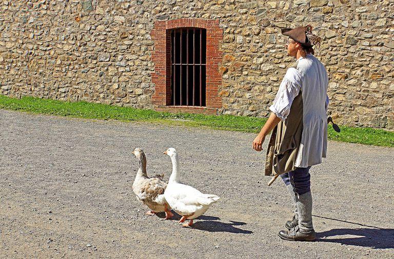 geese walking