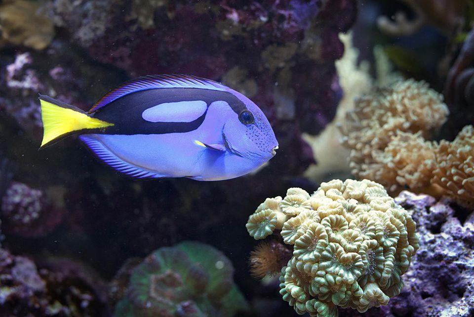 Blue tang, regal tang, (Paracanthurus Hepatus), part of the surgeonfish family.
