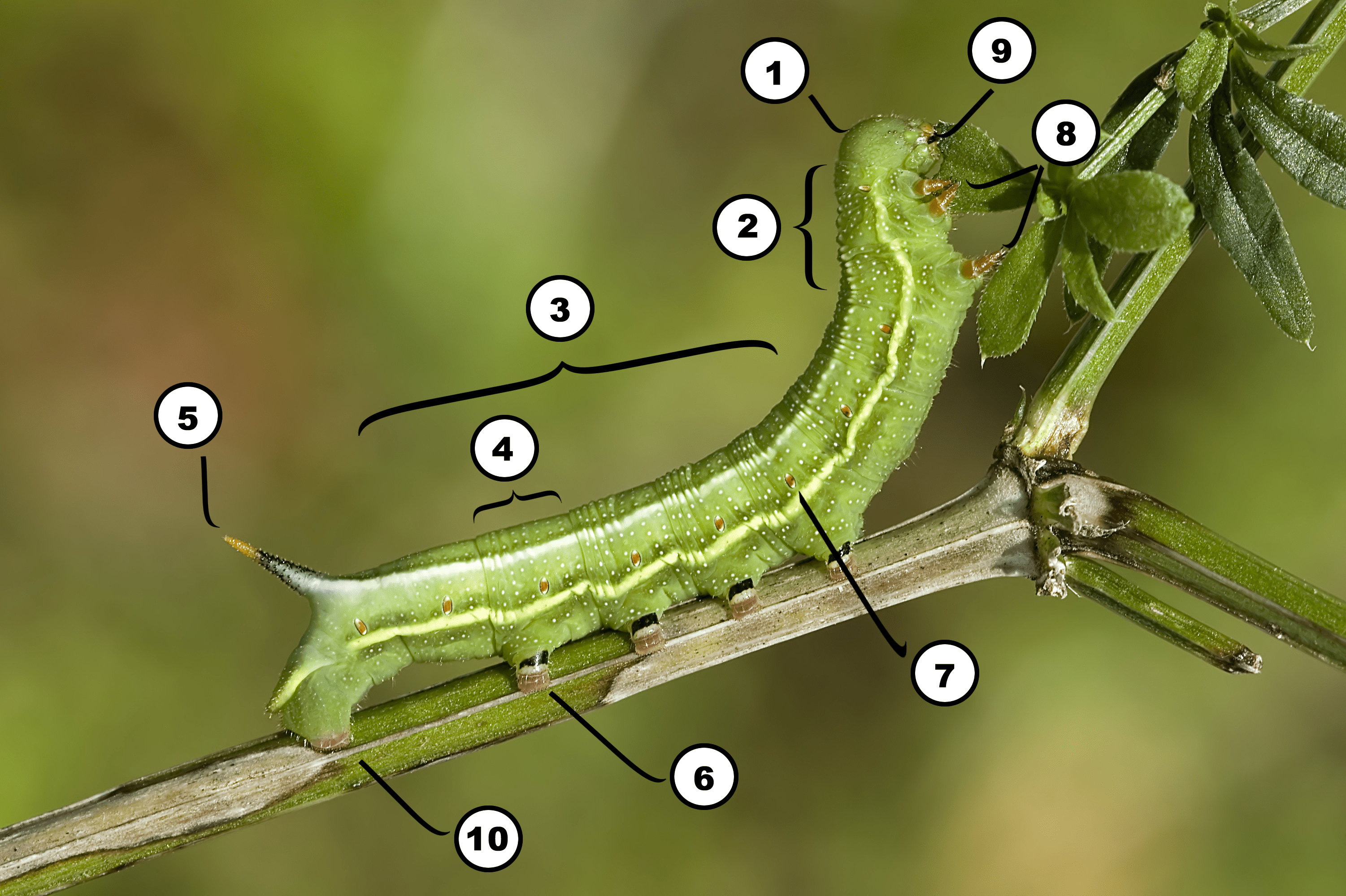 Diagram Of The Parts Of A Caterpillar