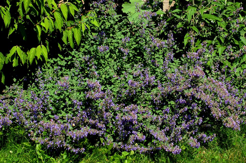 6 Hills Giant catmint (image) is a kind of flowering ground cover. It is related to catnip.