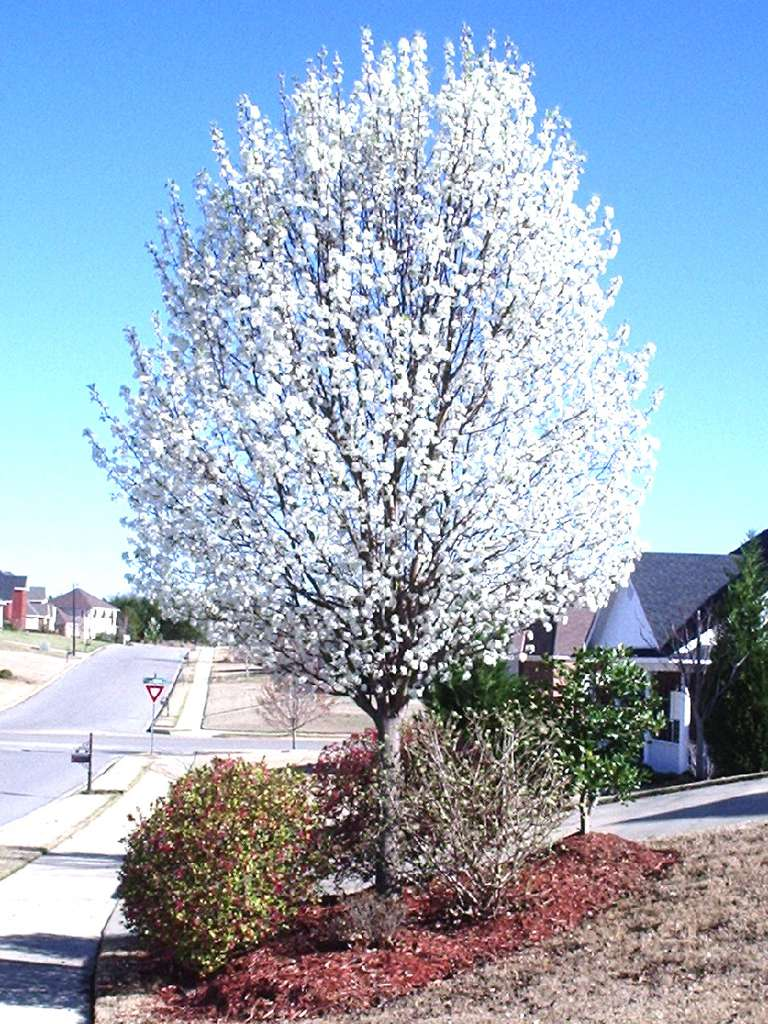 The flowering chanticleer callery pear tree for The chanticleer