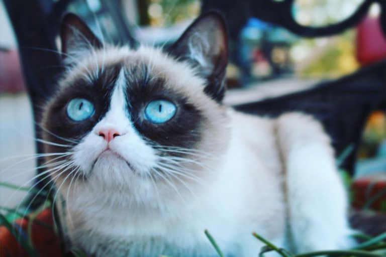 Photo of Grumpy Cat with close-up of her face