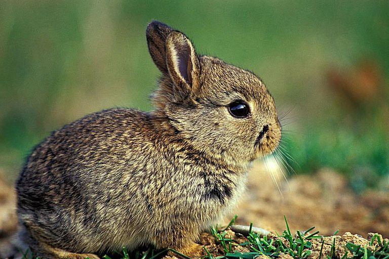 European rabbit - Oryctolagus cuniculus