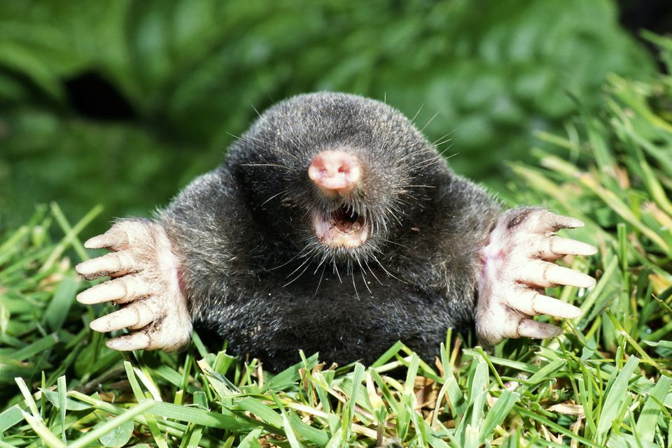 Image showing what a mole looks like.