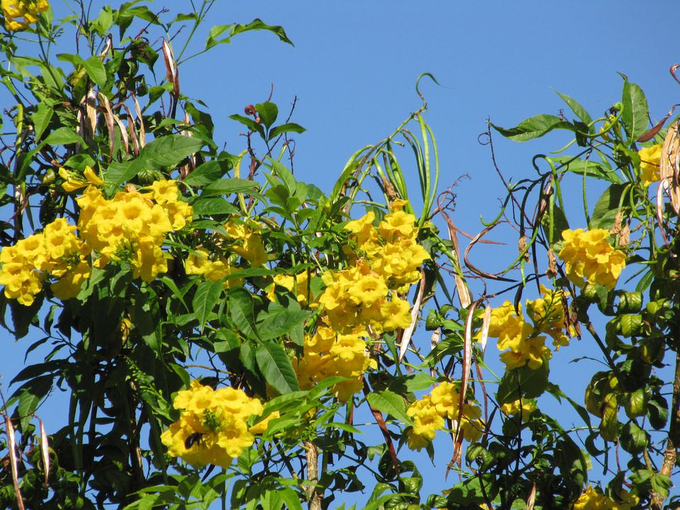 The beautiful yellow trumpetbush brings beneficial insects to your garden