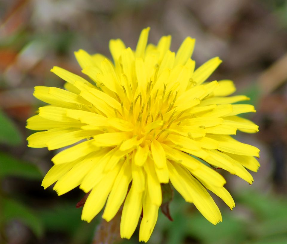 The dandelion bloom (image) is one of the most recognizable weed flowers. Some even like it.