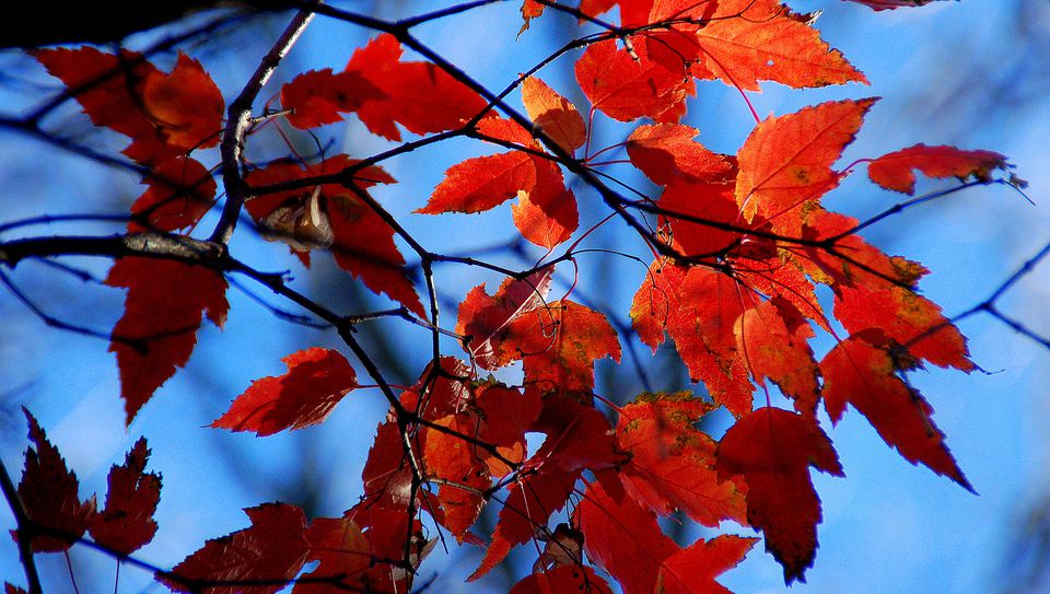 how to get rid of silver maple trees
