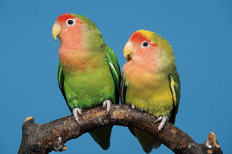 A pair of peach-faced Lovebirds (Agapornis roseicollis)