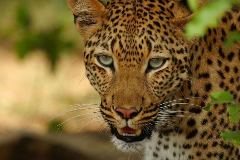 Picture of a leopard.