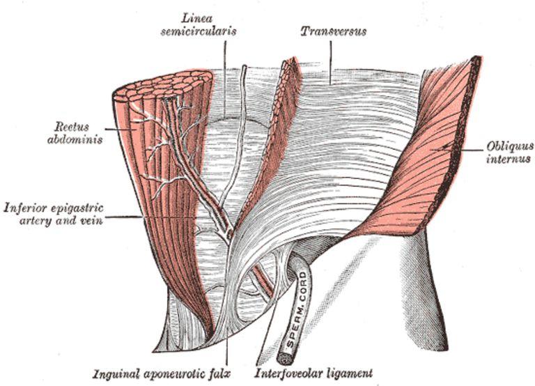 TVA muscle