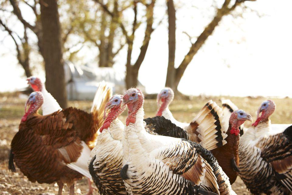 Flock of turkeys on a farm in autumn