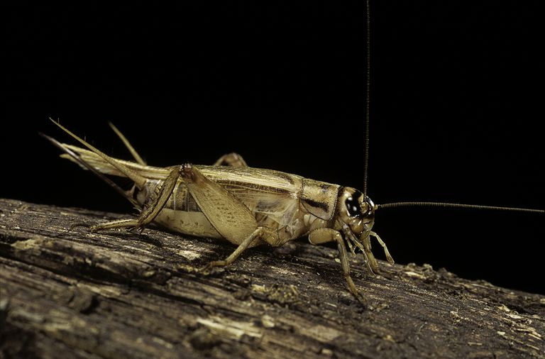 House cricket.
