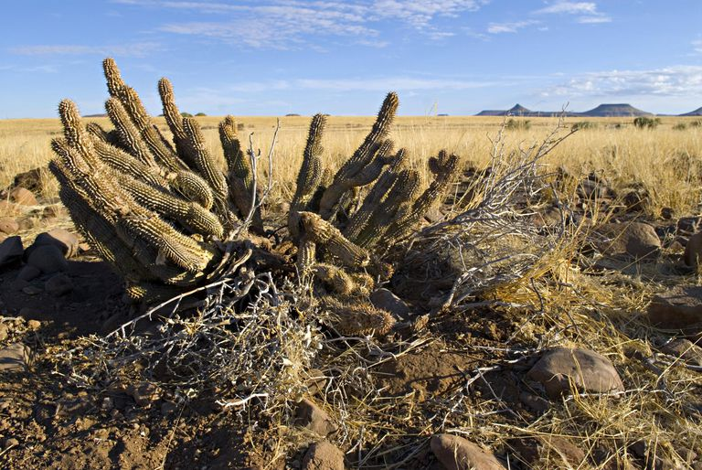 Hoodia gordonii, appetite suppressing plant used by San bushmen, Damaraland, Palmwag Concession, Namibia.