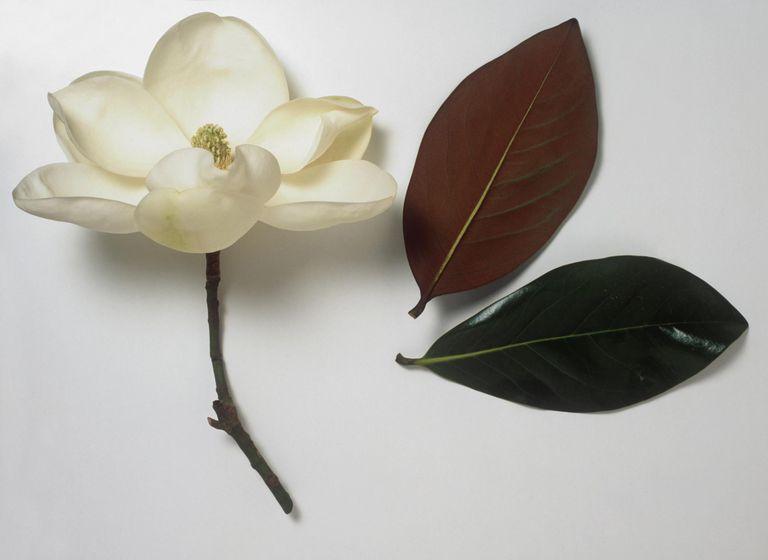 Magnolia grandiflora (Bull bay) pure white