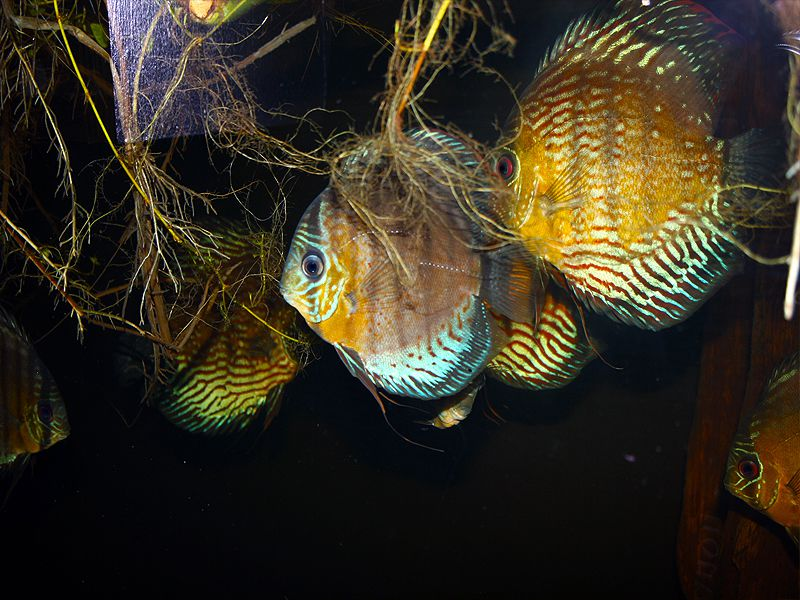 Group of young Discus Fish who will soon pair off and breed
