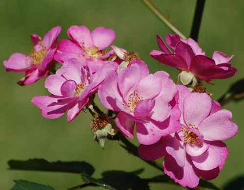 "Picture of rose with single blossoms. ""Daydream"" is a rose that has single flowers, not double."