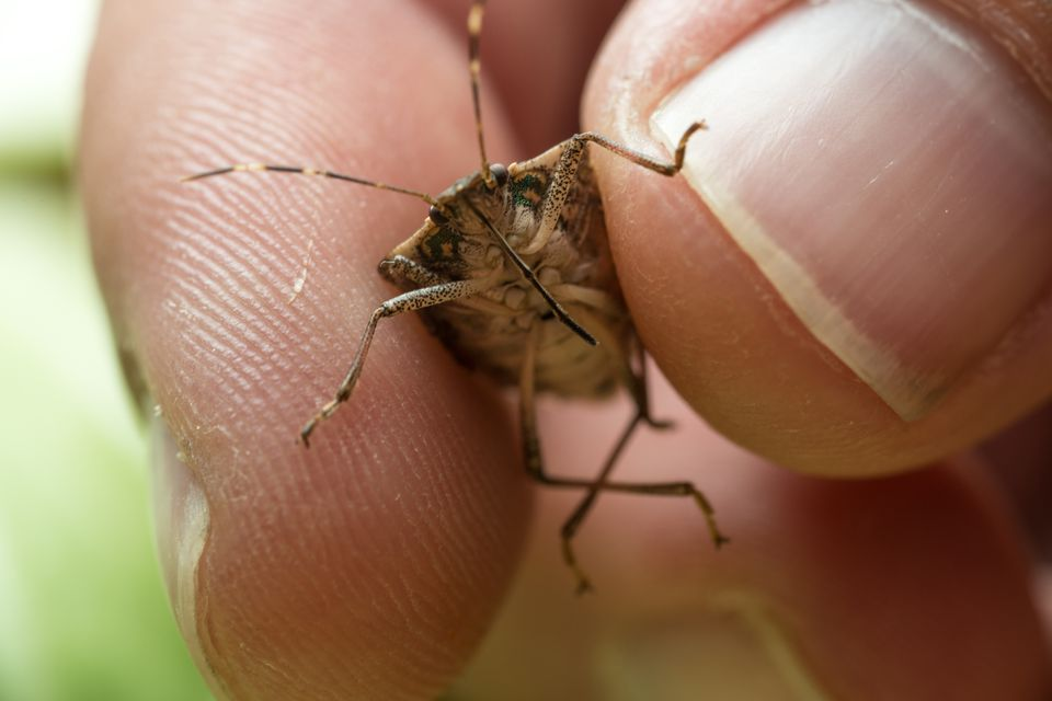 How to remove stink bugs
