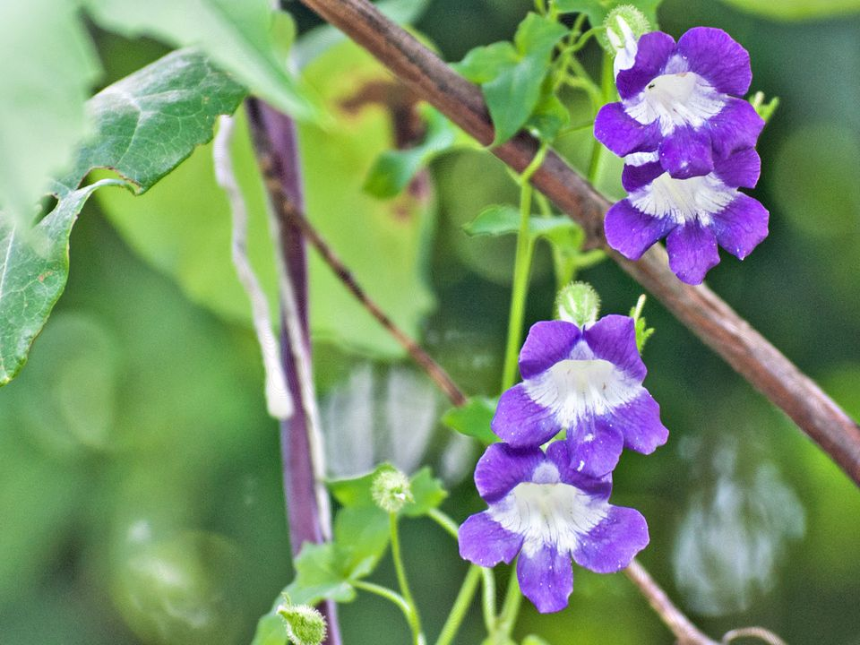 How to Grow Asarina, the Climbing Snapdragon Vine