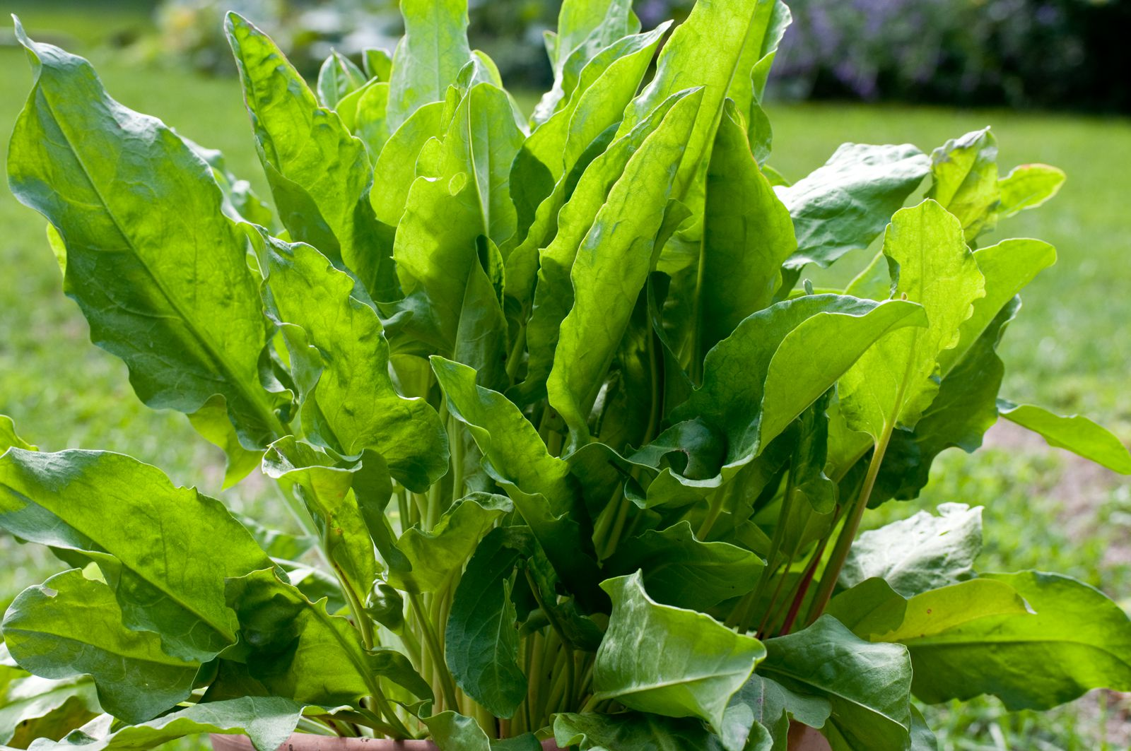 How To Grow Sorrel