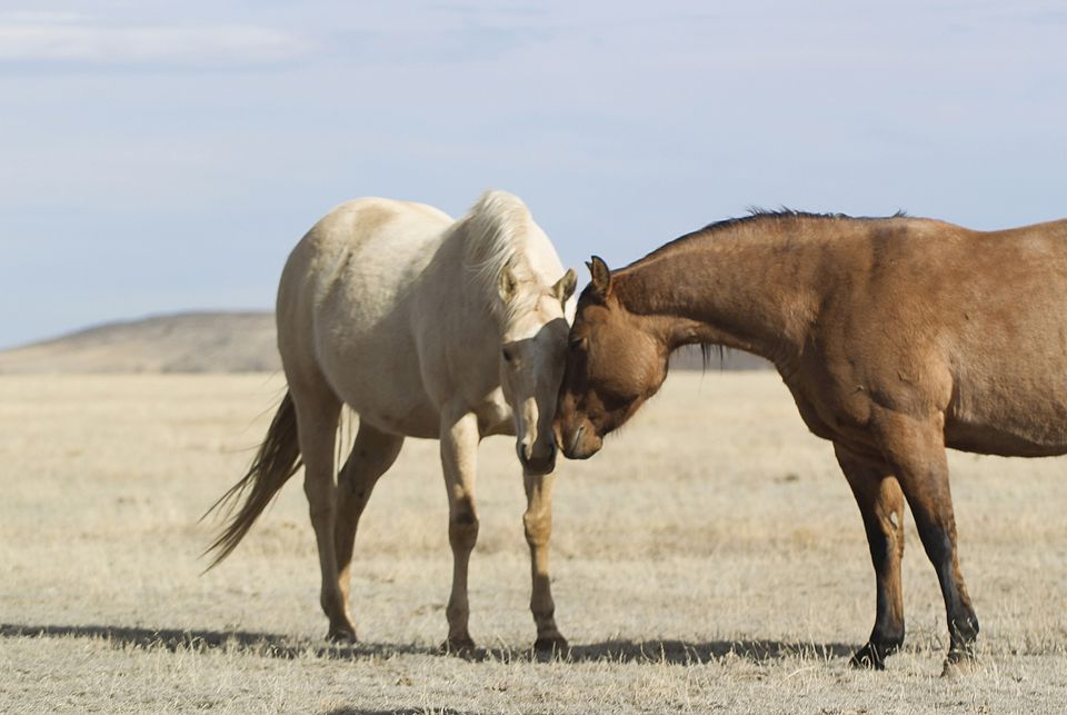 Two horses sniffing noses.