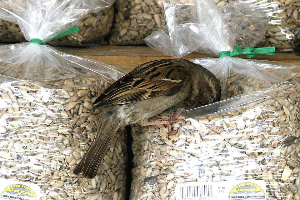 Bird Getting Into Birdseed Bag