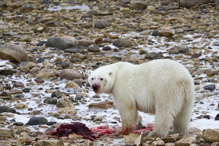 Polar Bear Eating Seal