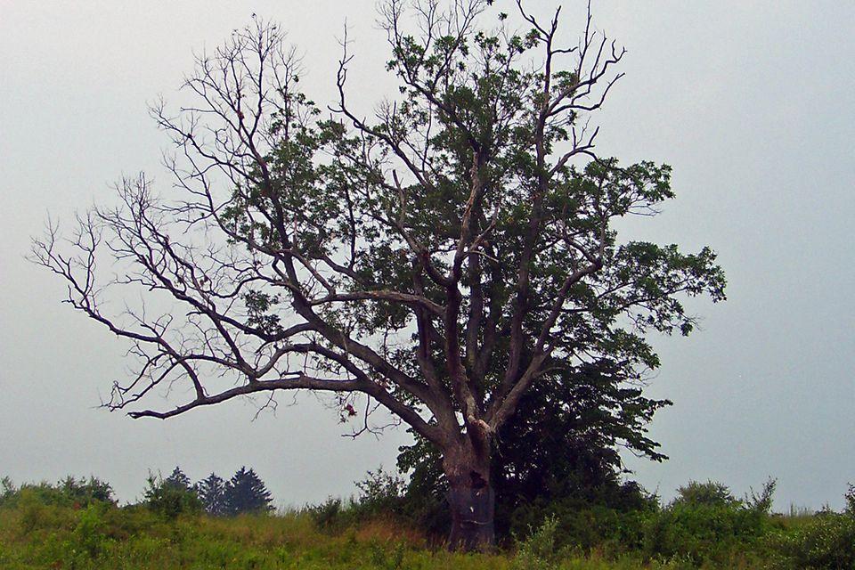 The Devil's Tree