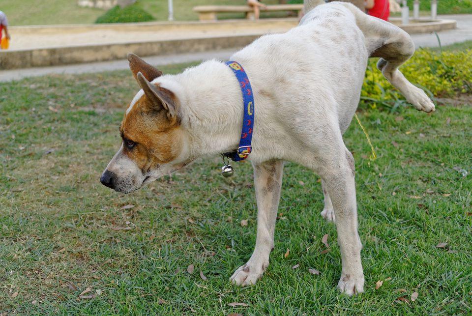 Dog Urinating On Grassy Field