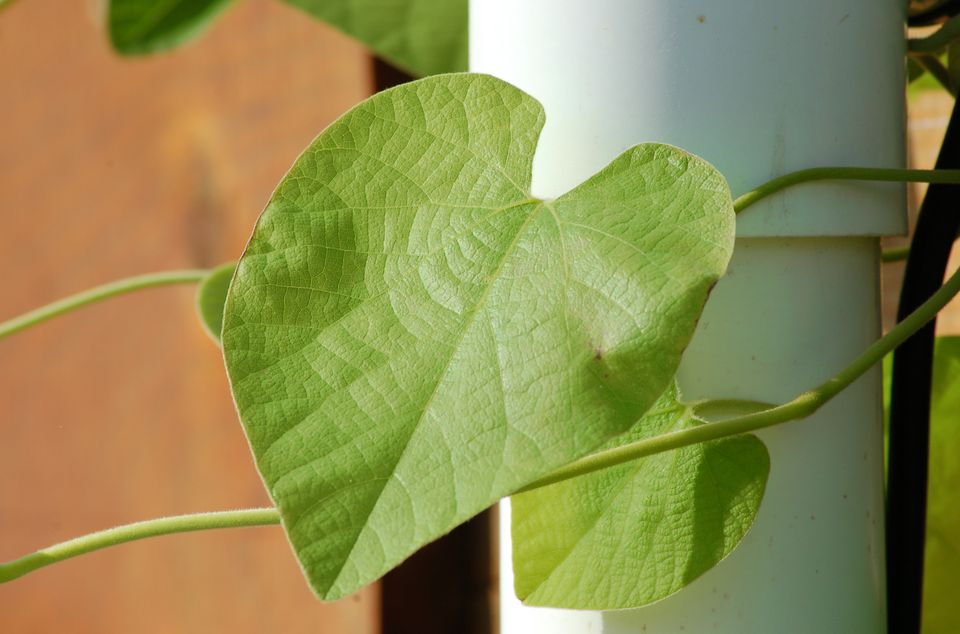 Image showing what the leaves of Dutchman's pipe vine look like.