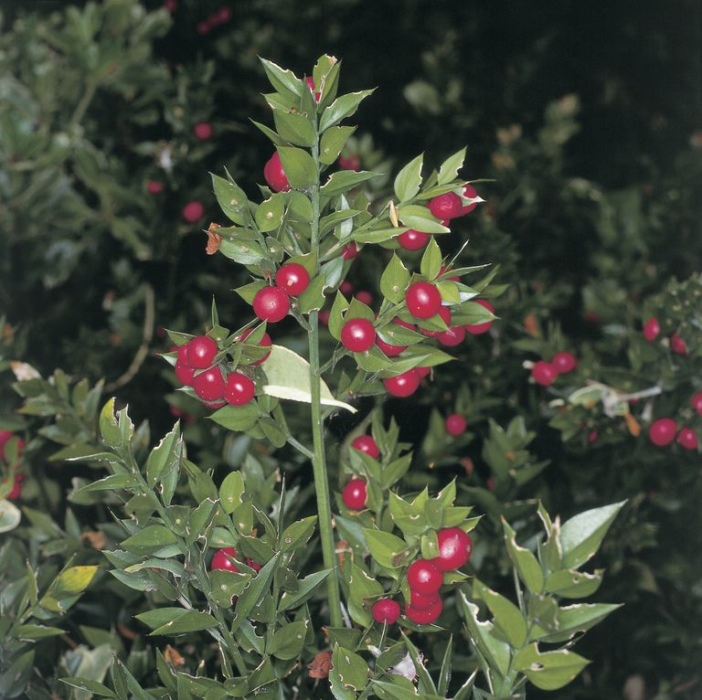 Close-up of Butcher's broom plants (Ruscus aculeatus)