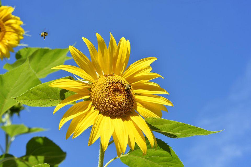 Pollen laden bee takes flight from sunflower bumblebee.