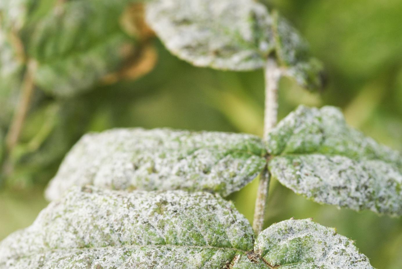 baking soda recipe for controlling mildew on plants. Black Bedroom Furniture Sets. Home Design Ideas